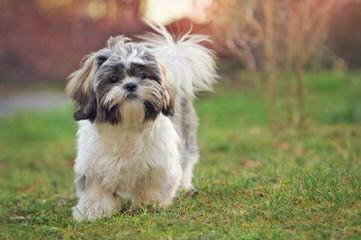 The Shih Tzu Cottage - Dog and Puppy Pictures