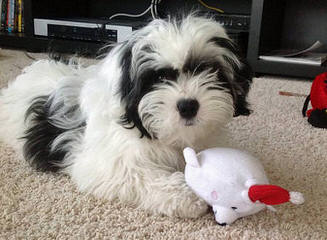 Diamond Moon Shih Tzu – Stud Service Available - Dog and Puppy Pictures