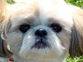 Deblyn's Shih Tzu - Dog and Puppy Pictures
