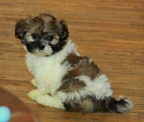 Tiny Imperial Shih Tzu - Dog Breeders