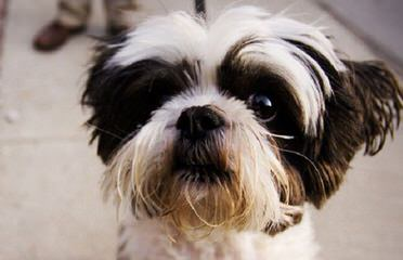 Amazing Shih-Tzu's - Dog Breeders