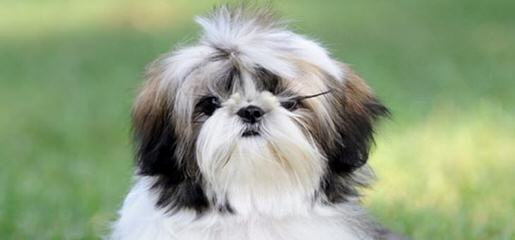 Shih-Tzus By Mccann - Dog Breeders