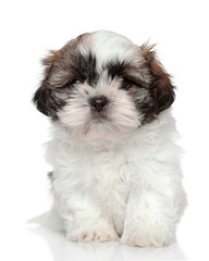 The Shih Tzu Cottage - Dog Breeders