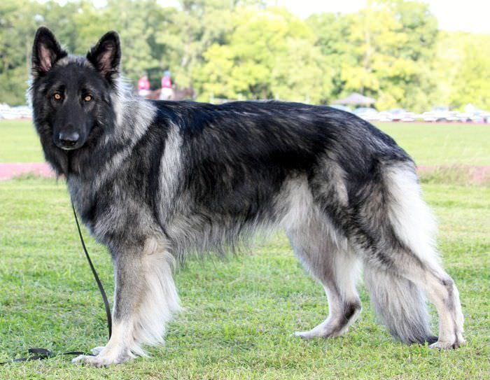 Shiloh Shepherd Dogs and Puppies