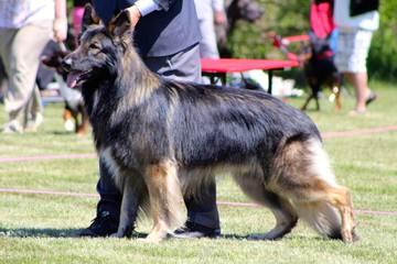 Sequoia Shiloh Shepherds - Dog Breeders