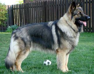 Shiloh Shepherds - Dog Breeders