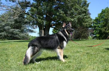 Columbia Shiloh Shepherds - Dog Breeders