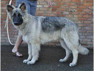 Shadowgate Farm Shiloh Shepherds - Dog Breeders