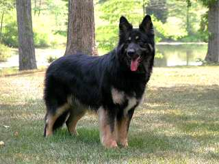 Catoctin Shiloh Shepherds - Dog Breeders