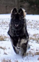 Bearpaw Shilohs - Dog Breeders