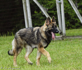 Sequoia Shiloh Shepherds - Dog Breeders