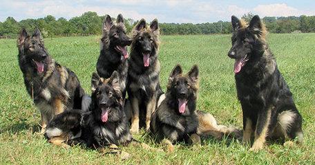 Imladris Shilohs - Dog Breeders