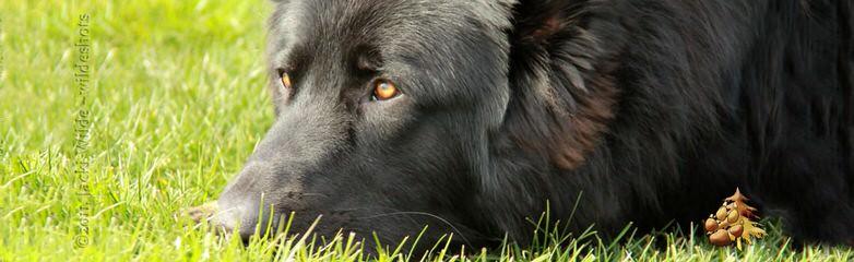 Shiloh Shepherds - Dog Breeders