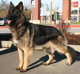 Shiloh Shepherds By Ridgewood Shilohs(P&C/B&T) - Dog Breeders