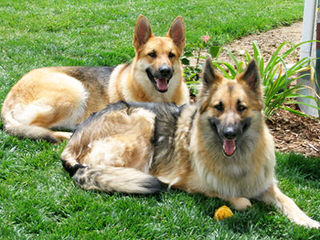 Shadowgate Farm Shiloh Shepherds - Dog and Puppy Pictures