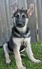 Shiloh Shepherds By Ridgewood Shilohs(P&C/B&T) - Dog Breeders