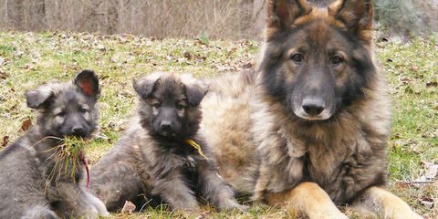 Catoctin Shiloh Shepherds - Dog Breeders