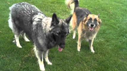 Mt Airy Shepherds Frances/Thunder - Dog Breeders