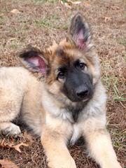 Star Shilohs Scarlett/Lance - Dog Breeders