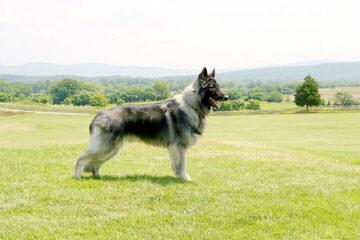 Jnl Pocono Shilohs Nori/Ruger - Dog Breeders
