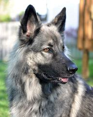 Guardian Kennels, ISSR - Dog Breeders