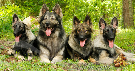 Sierra Shiloh Shepherds - Dog Breeders