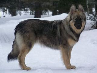 Columbia Shiloh Shepherds - Dog Breeders