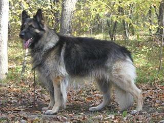 Dakota ISSR Shilohs - Dog Breeders