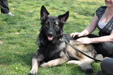 Sierra Shiloh Shepherds - Dog Breeders