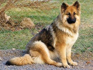 Renegade Shepherds - Dog Breeders