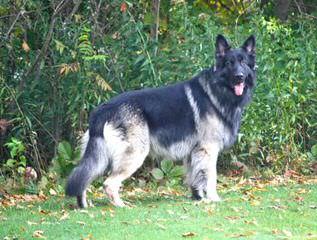 Highlander Shiloh Shepherds - Dog Breeders
