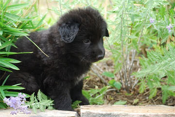 Qudrat Shepherds - Dog Breeders
