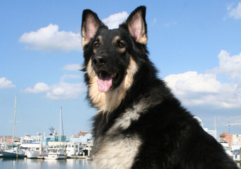 Genesis Shilohs - Dog Breeders