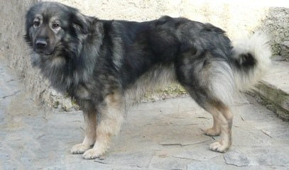 Riverwind Shilohs, ISSR - Dog Breeders
