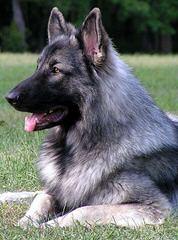 Shadowgate Farm Shiloh Shepherds - Dog Breeders