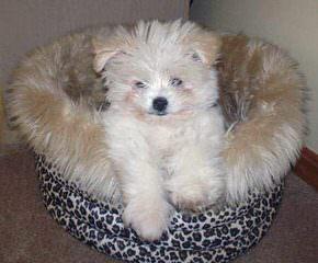 Pomeranian Puppies - Dog Breeders