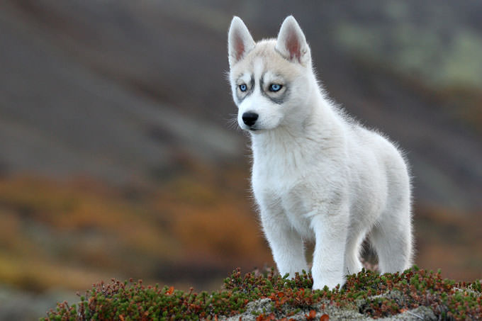 Siberian Husky Dogs and Puppies