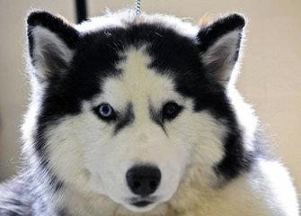Christmas Pet Suppliers – Buy Siberian Husky Puppies Online - Dog Breeders