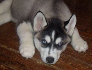 Seirra Siberian Huskies - Dog Breeders