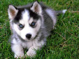 Bama Huskies - Dog and Puppy Pictures