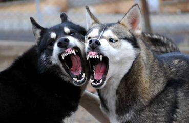 HK9K Siberians - Dog Breeders