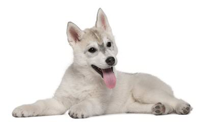 My Siberian Husky Kennels - Dog Breeders