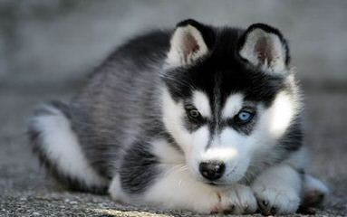 Huskies Extraordinaire of Cafitachiqu - Dog Breeders