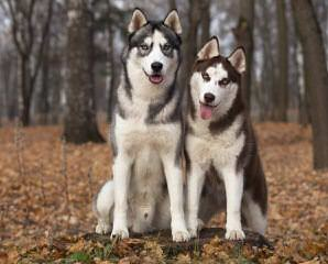 Akc Siberian Husky Wants To Be A Dad - Dog and Puppy Pictures