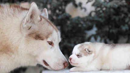 My Siberian Husky Kennel - Dog Breeders