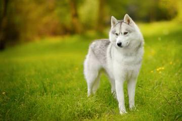 Sno Noz Reg'd Siberians - Dog Breeders