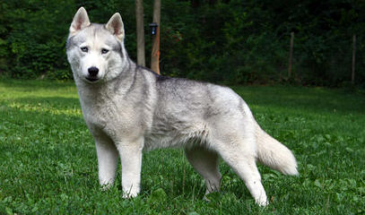 Siberian Husky Pups For Sale - Dog Breeders