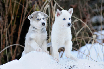 Meadow's Marvels Siberian Husky - Dog Breeders