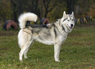 Bruck's Siberian Huskies - Dog Breeders