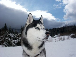 New Moon Siberian Huskies - Dog and Puppy Pictures